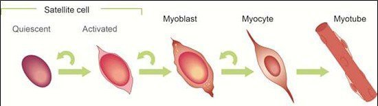 muscle stem cells