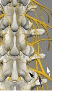 facet nerves